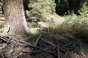 Cervi nel parco delle sequoie in California