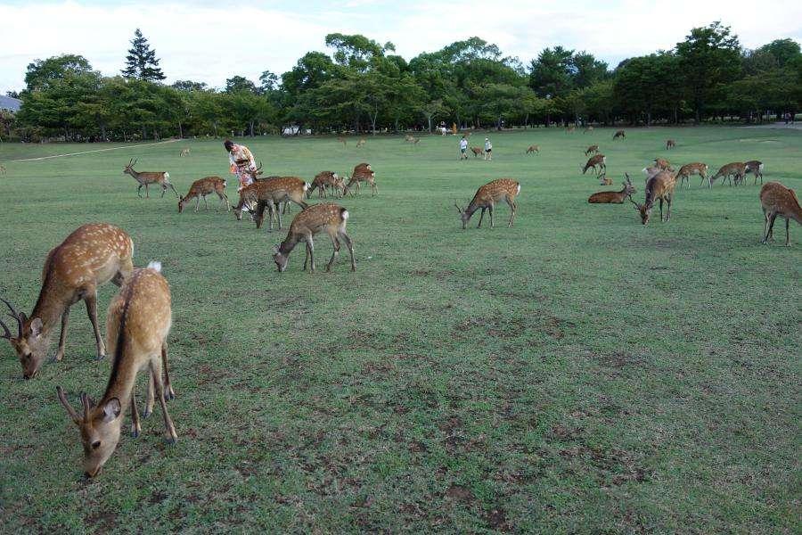 Parco di Nara con i cervi